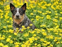 Łąka, Australian cattle dog, Kwiaty