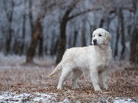 Golden retriever, Młody, Las