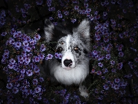 Kwiaty, Pies, Border collie, Astry marcinki