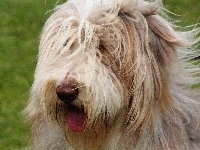 Bearded collie, Język