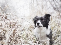 Śnieg, Border collie, Trawa